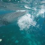 オスロブ&スミロン島スクールトリップ ①〜ジンベイザメと一緒に泳ごう!〜